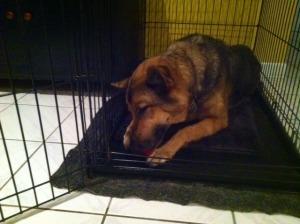Dog trainer Weston chewing