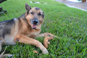 Caring for senior dogs